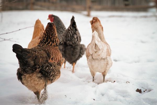 snowchickens-blogalacart-3