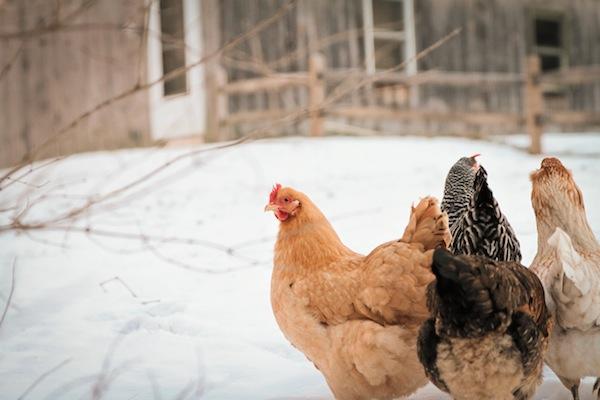 snowchickens-blogalacart-5